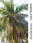 coconat palm tree as natural... | Shutterstock . vector #1063784849