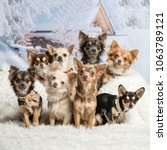 Stock photo chihuahuas sitting together in winter scene portrait 1063789121