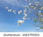 white blossoms and blue sky | Shutterstock . vector #1063790351