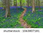 Path Through Bluebells Carpets...