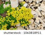Yellow Groundcover Flowers ...