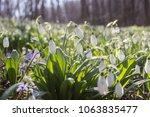 snowdrop spring flowers ...   Shutterstock . vector #1063835477