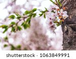 cherry blossoms close up in... | Shutterstock . vector #1063849991