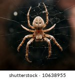 Closeup Of A Cross Spider In...