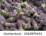 plugs of soil removed from golf ... | Shutterstock . vector #1063895651