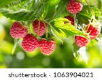 branch of ripe raspberries in a ... | Shutterstock . vector #1063904021