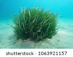 Small photo of Seagrass underwater, a tuft of Neptune grass, Posidonia oceanica, on a sandy seabed, Mediterranean sea, Balearic islands, Ibiza, Spain