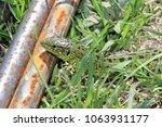detailed view of small lizard... | Shutterstock . vector #1063931177