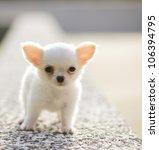 Stock photo chiwawa white puppy 106394795