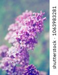 brunch of blooming lilac... | Shutterstock . vector #1063983281