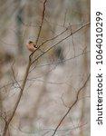 fluffy forest bird  robin... | Shutterstock . vector #1064010299