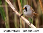 beraded tit  male   reedling ... | Shutterstock . vector #1064050325