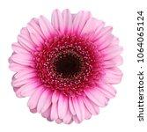 Beautiful Gerbera  Daisy ...