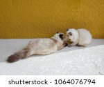 Stock photo two himalayan kittens playing 1064076794