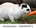a cute bunny rabbit nibbling on ... | Shutterstock . vector #1064094371