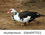 a goose on a farm. | Shutterstock . vector #1064097521