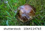natural edible mushrooms. an... | Shutterstock . vector #1064114765
