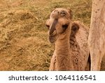 camel calf with her mother | Shutterstock . vector #1064116541