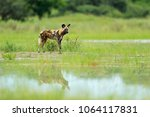 african wild dog  lycaon pictus ... | Shutterstock . vector #1064117831