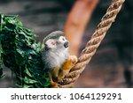 funny little mokeys subspecies... | Shutterstock . vector #1064129291