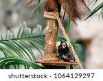funny little mokeys subspecies... | Shutterstock . vector #1064129297