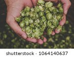 Green Hops For Beer. Man...