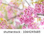 pink sakura flower bloom in... | Shutterstock . vector #1064245685