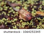 dominican mahogany  flower ...   Shutterstock . vector #1064252345