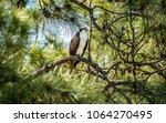 A Young Osprey Perches Upon A...