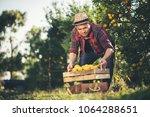 farmer man harvesting oranges... | Shutterstock . vector #1064288651