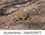 young wild boars in a game park ... | Shutterstock . vector #1064325977