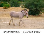 single somali wild ass donkey ... | Shutterstock . vector #1064351489