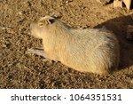 single capybara  known also as...   Shutterstock . vector #1064351531