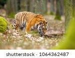 the siberian tiger  panthera... | Shutterstock . vector #1064362487