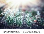 snowdrops flowers with sun rays ... | Shutterstock . vector #1064365571