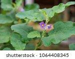 nice purple wild eggplant... | Shutterstock . vector #1064408345