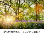 amazing bluebell forest with... | Shutterstock . vector #1064431814