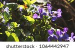 violets and a bee. natural... | Shutterstock . vector #1064442947