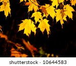Backlit maples leaves glowing like gold flames against a dark backdrop - stock photo