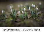 Small photo of Flowering Crimean snowdrop. Galanthus folded.