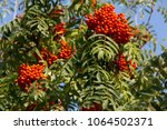 ripe bunches of rowan on the... | Shutterstock . vector #1064502371