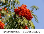 ripe bunches of rowan on the... | Shutterstock . vector #1064502377