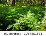 sunlight over green fern meadow ... | Shutterstock . vector #1064561531