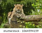 endangered amur leopard in the... | Shutterstock . vector #1064594159