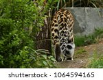 endangered amur leopard in the... | Shutterstock . vector #1064594165