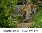 endangered amur leopard in the... | Shutterstock . vector #1064594171