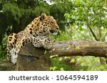 endangered amur leopard in the... | Shutterstock . vector #1064594189
