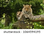 endangered amur leopard in the... | Shutterstock . vector #1064594195