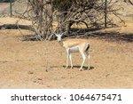 Small photo of Single sand gazelle (Gazella marica) in nature reserve. In the natural habitat. Desert. Island Sir Bani Yas, UAE.