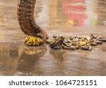 long nose and banana   Shutterstock . vector #1064725151